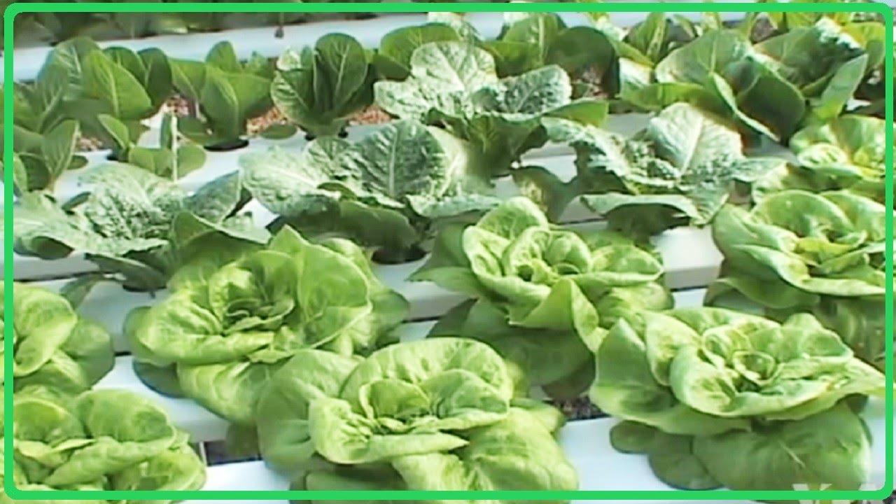 Hydroponics Commercial Farming – Hydroponic Lettuce