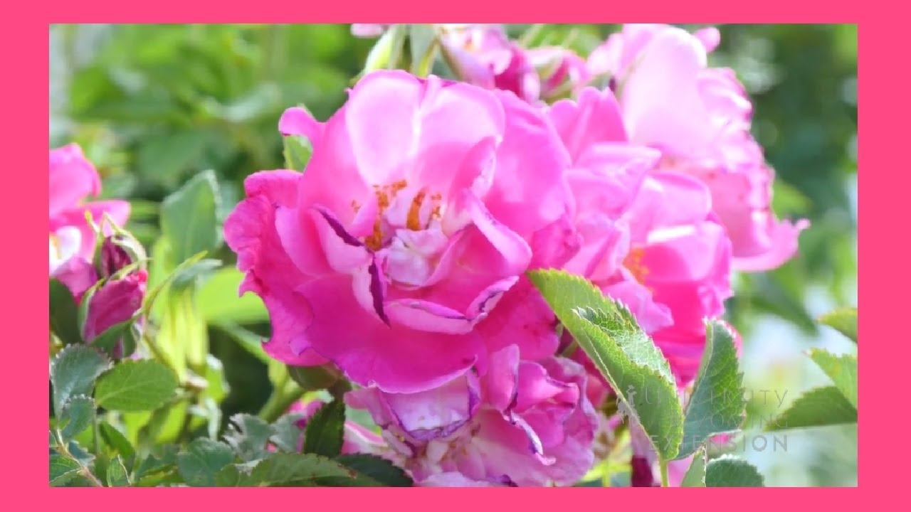 How to Deadhead Roses Tips and Tricks From University of Wyoming Extension Gardeners